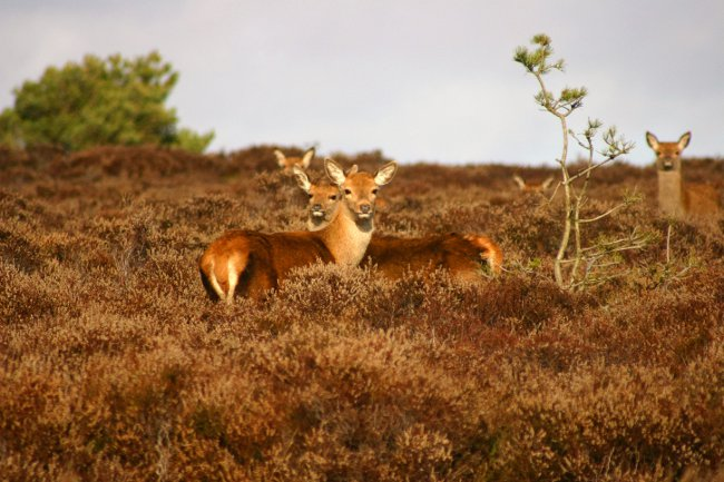 Red Deer on Dunwich heath