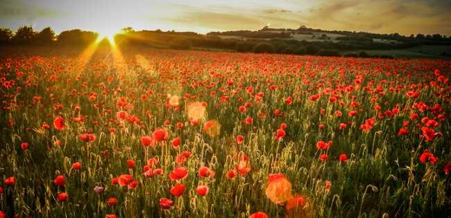 Poppies on WW1 battlefield