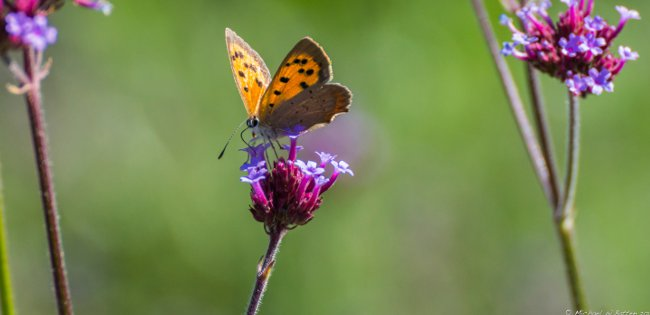 butterfly perched on Verbena