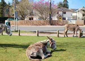 Donkeys outside Cottage Lodge, Brockenham