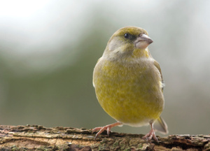 Finch numbers in decline