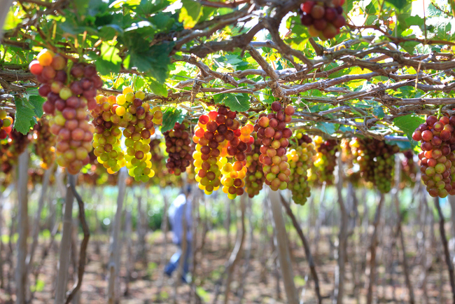 Vietnam vineyard