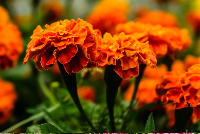Mexican Marigolds