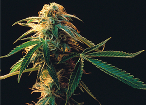 The demon weed - but are we doing any good in prohibiting it?