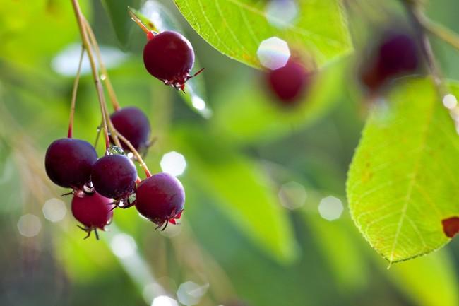 Edible shrubs