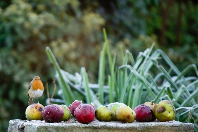Robin in a frosty garden
