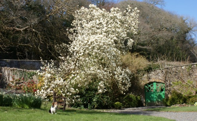 Magnolia in Mulberry Garden