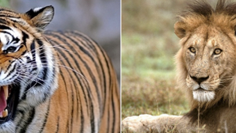 Asiatic Lion vs Bengal Tiger fight comparison- who will win? | Older