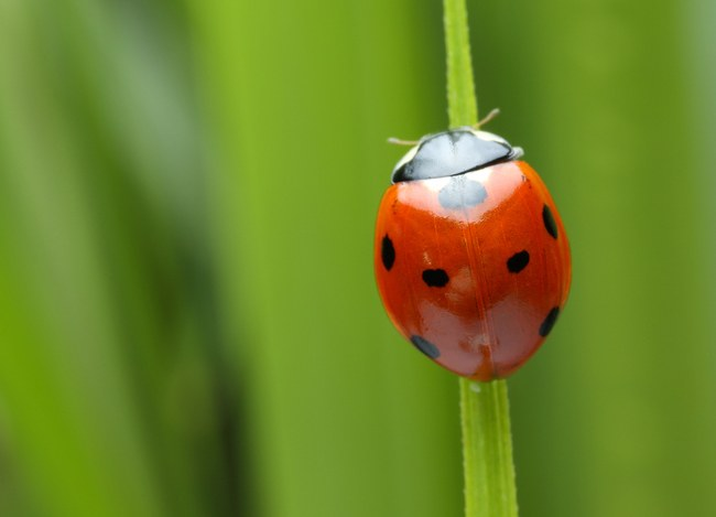 Ladybirds love aphids