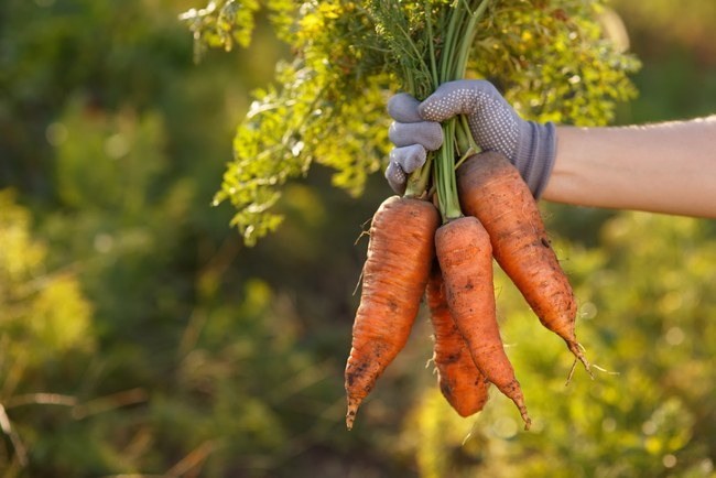 carrots at harvest time