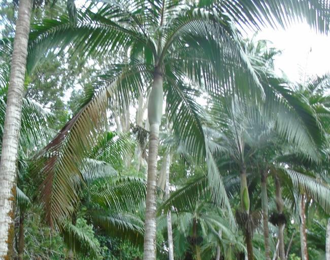 Palm hearts