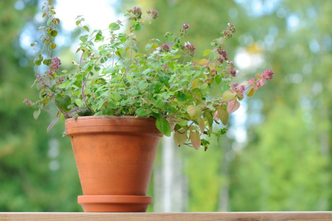 Oregano in a pot