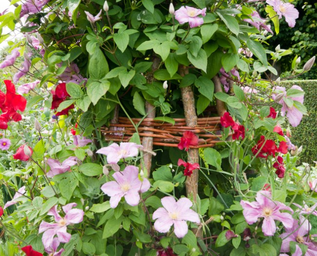 Sweetpeas and clematis