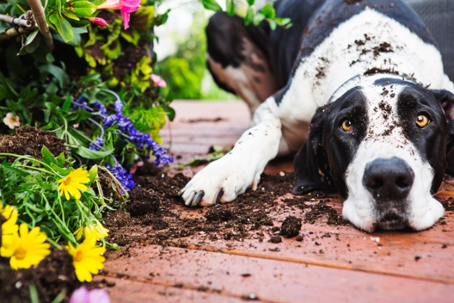 flower bed dug up by dog
