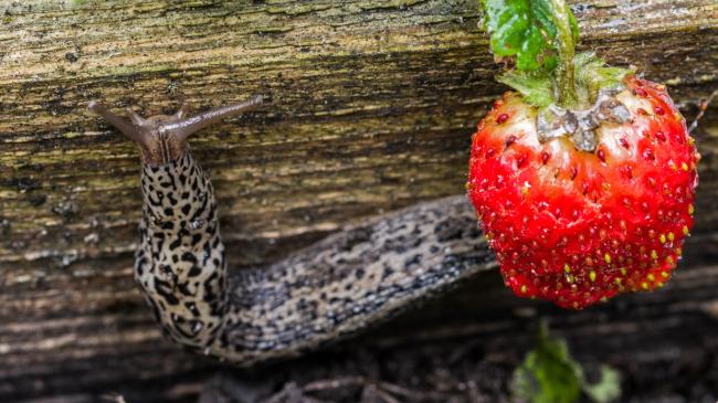 slug and strawberry
